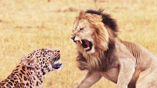 quand un lion attaque un l opard au beau milieu de sa sieste ferloo. Black Bedroom Furniture Sets. Home Design Ideas