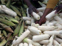 Chenille maïs