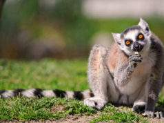 lemuriens2