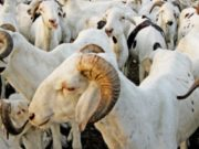 Moutons tabaski