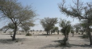 Sahel arbustes