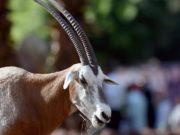 oryx sall